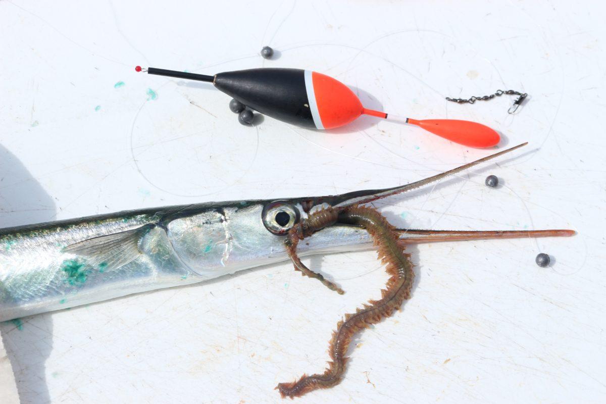 AAuch Seeringelwürmer sind beim Angeln auf Hornhecht eine beliebte Beute. Foto: BLINKER / A. Pawlitzki