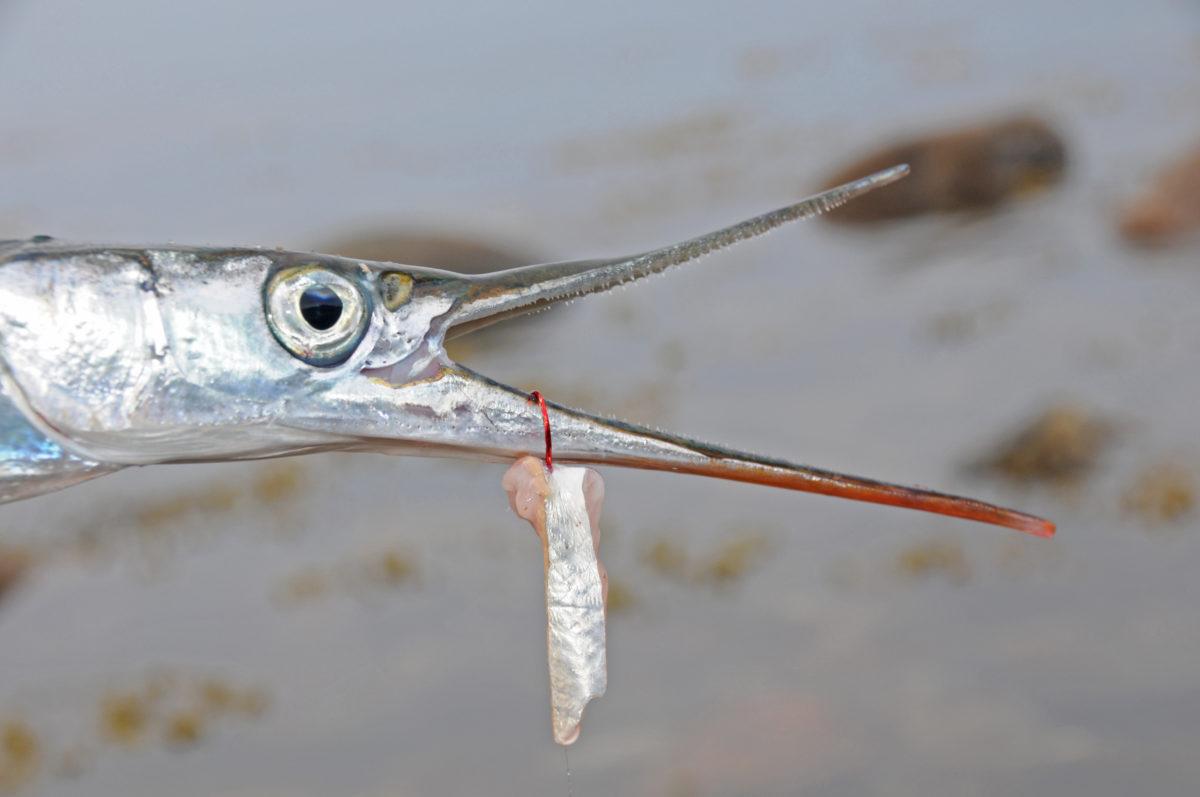Je schlanker der Fischfetzen, desto besser kann der Hornhecht ihn bewältigen.