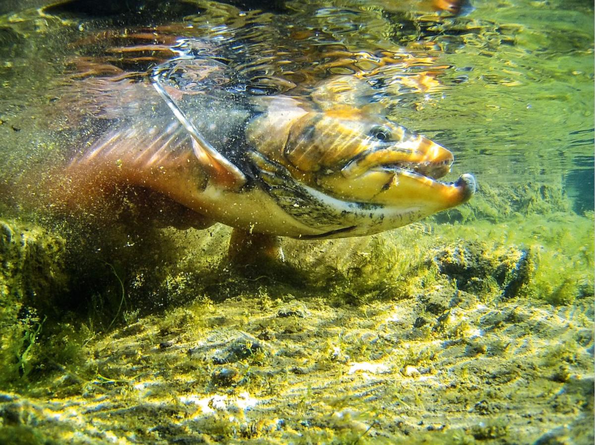 """Riesige Saiblinge bevölkern die Gewässer, oft erreichen diese """"Lachsformat""""!"""