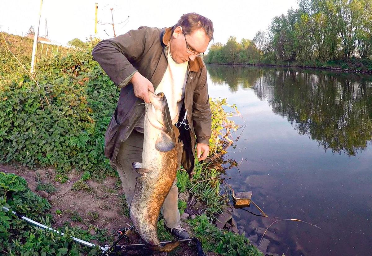 Die Ruhr ist mittlerweile ein guter Fluss für Waller im Ruhrgebiet. Markus Bötefür fing diesen Halbstarken mit einem Wobbler, der eigentlich für Barsche gedacht war.