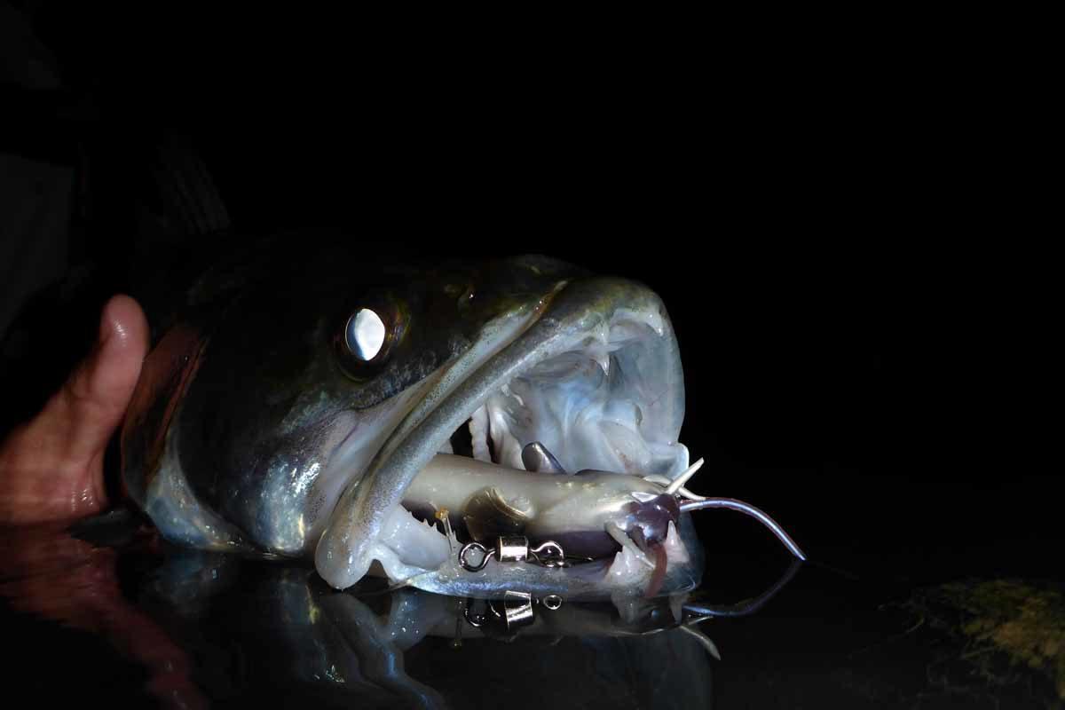 Ein Zander raubt bei Nacht.