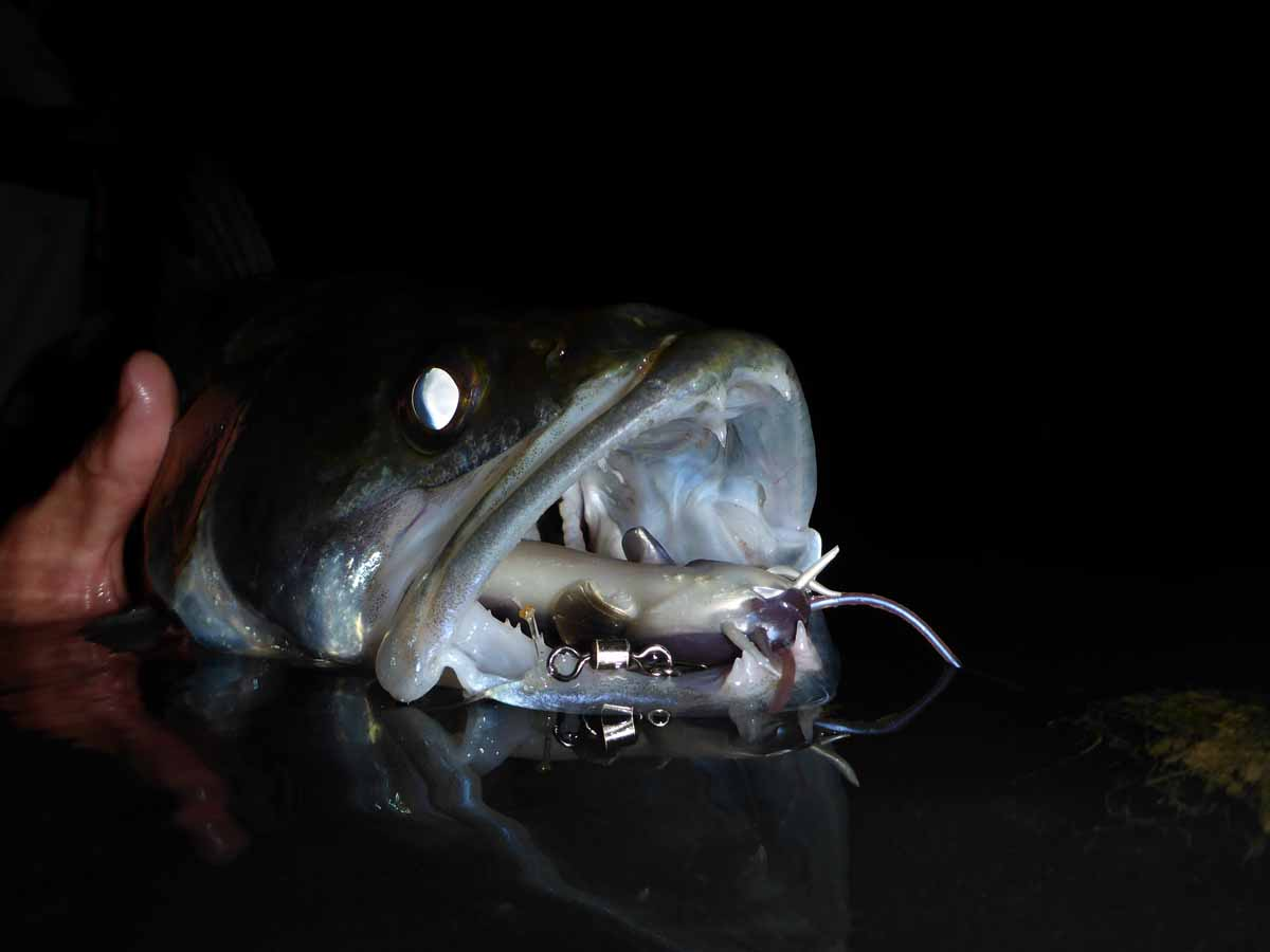 Durch die reflektierende Schicht in ihrem Auge sind Zander prädestinierte Nachträuber. Foto: S. Kaufmann