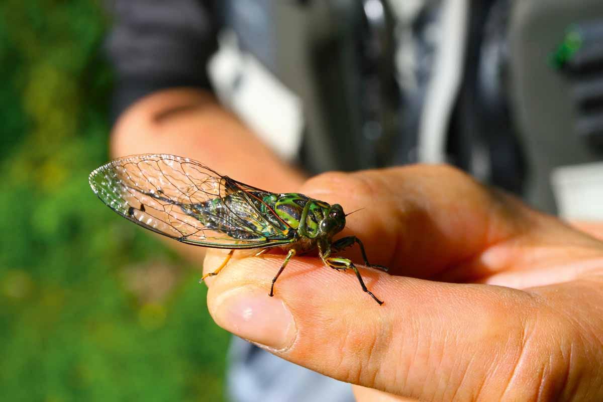 Es gibt ein Insekt, das in gewissem Maße der Heuschrecke ähnelt – und zwar die Zikade.
