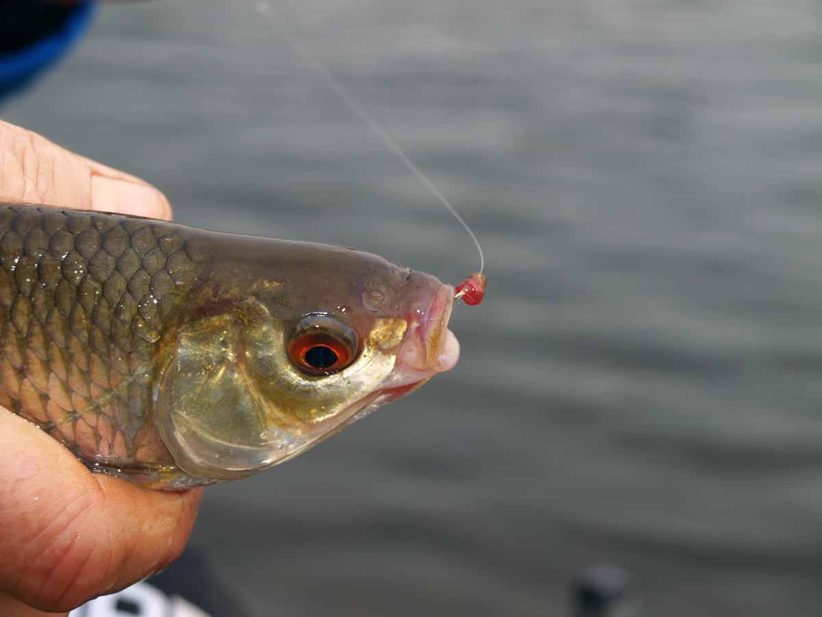 Beim Friedfischangeln im Winter beißen die Fische vorsichtig! Hier hat ein Rotauge eine Zuckmücke attackiert – man sieht die Reste des Köders noch im Maulwinkel. Zuckmücken durchsticht man am besten einmal unterhalb des Kopfgliedes. Foto: A. Pawlitzki