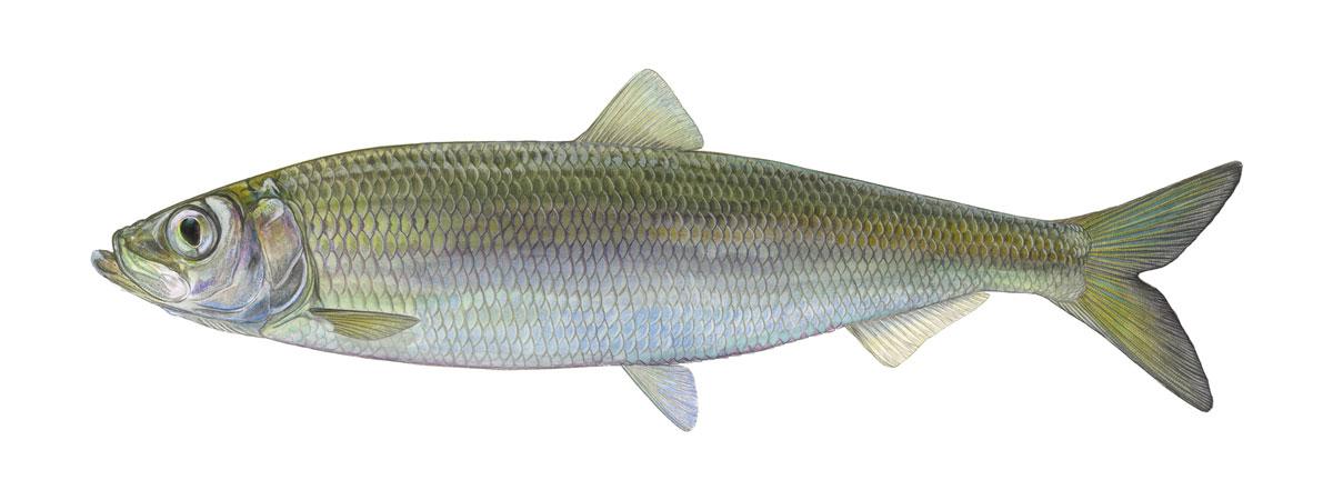 Der DAFV und das Bundesamt für Naturschutz wählten den Hering zum Fisch des Jahres 2021. Bild: DAFV, Eric Otten