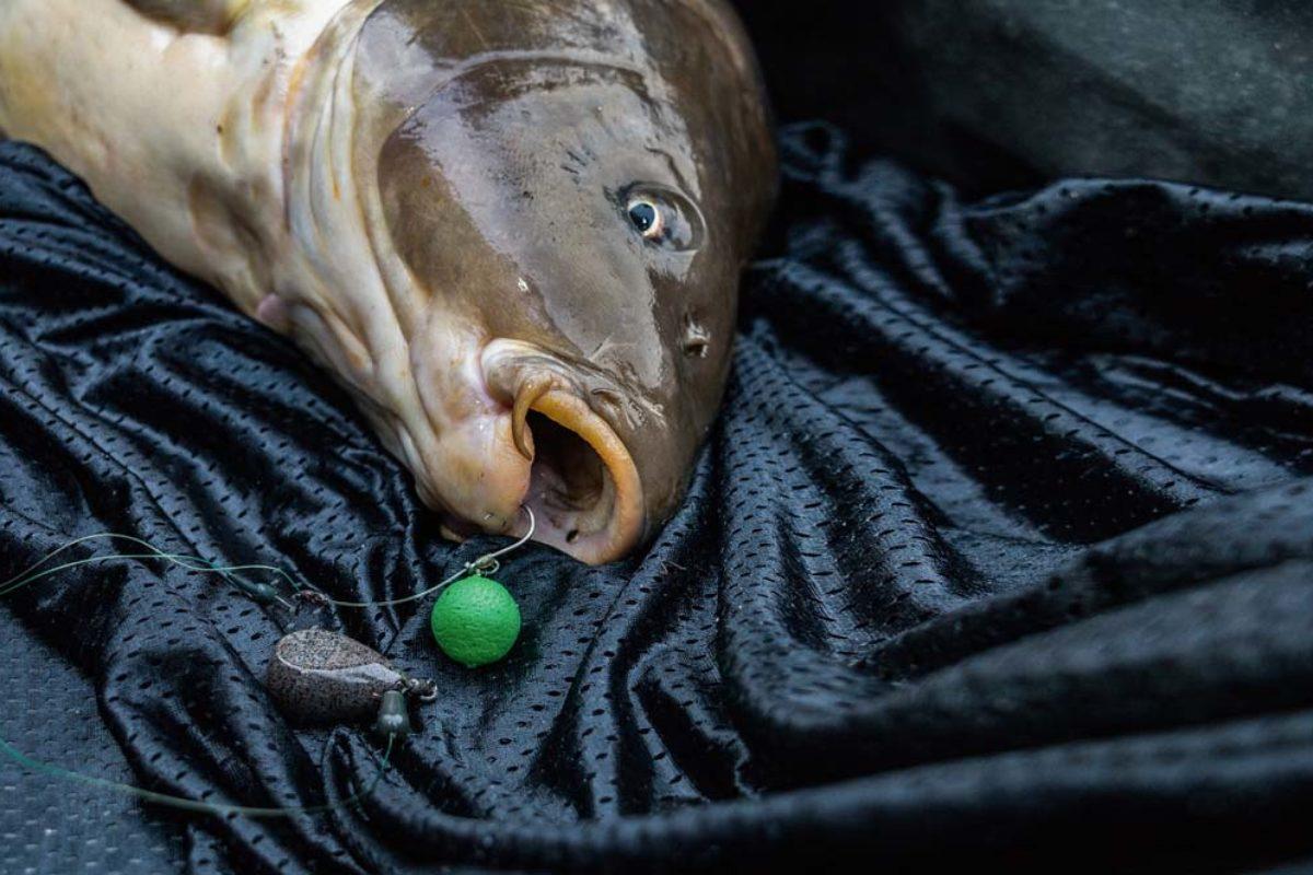 Auffällige Köder wie dieser neonfarbene Pop-Up-Boilie werden von Fischen schneller gefunden. Foto: F. Pippardt