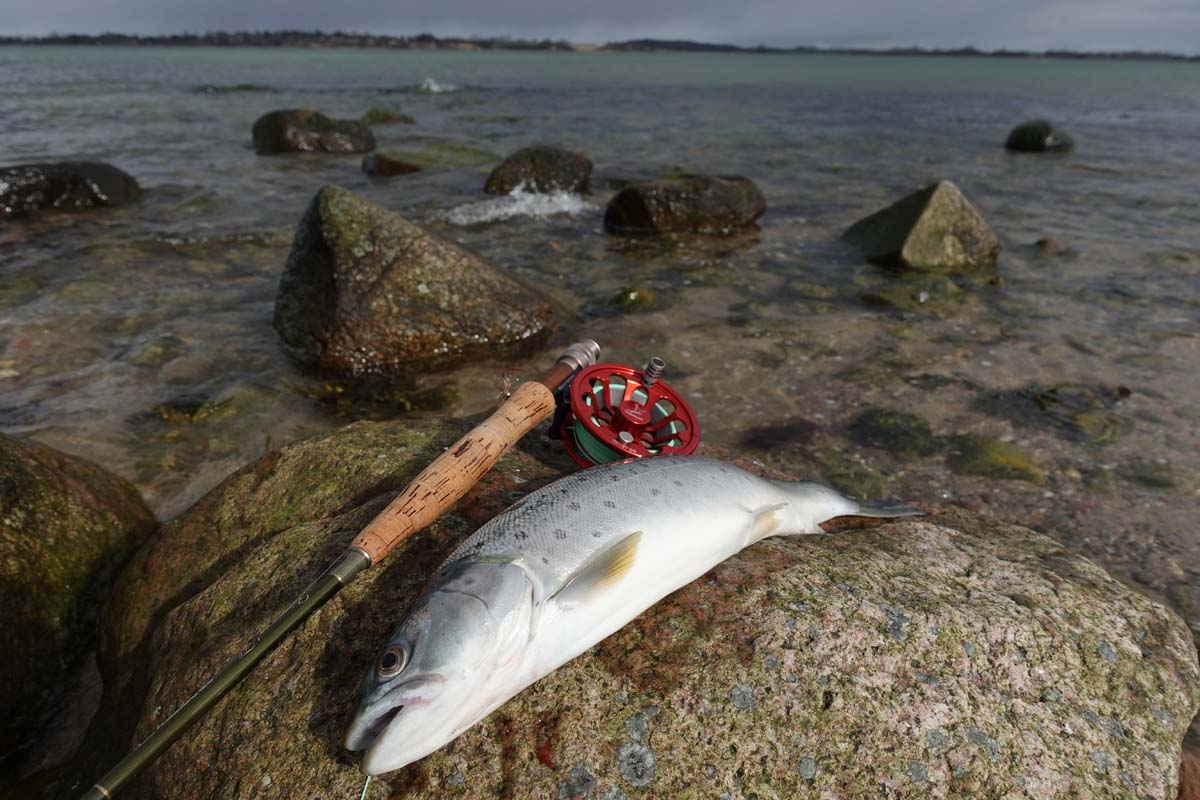 Ein Wurf parallel zum Übergang von der Sandbank zur Rinne brachte den entschlossenen Biss und eine schöne März-Forelle.