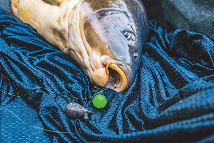 SAUBER GEHAKT Der Fisch liegt im Kescher! Das Chod Rig hat sauber in der Unterlippe gehakt. Foto: F. Pippardt