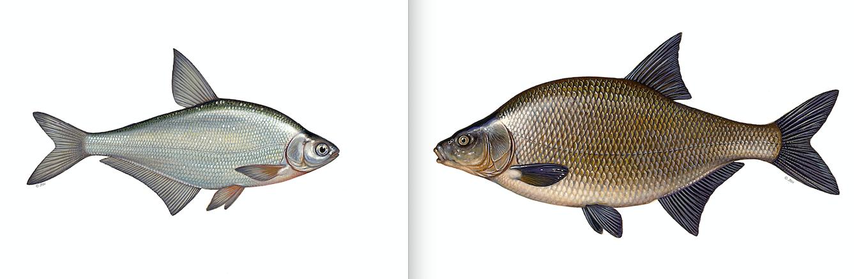 Im direkten Vergleich der Fische in einer Zeichnung ist der Unterschied zwischen Brassen und Zope klar erkennbar. In der Praxis ist es manchmal etwas schwieriger. Zeichnung: J. Scholz