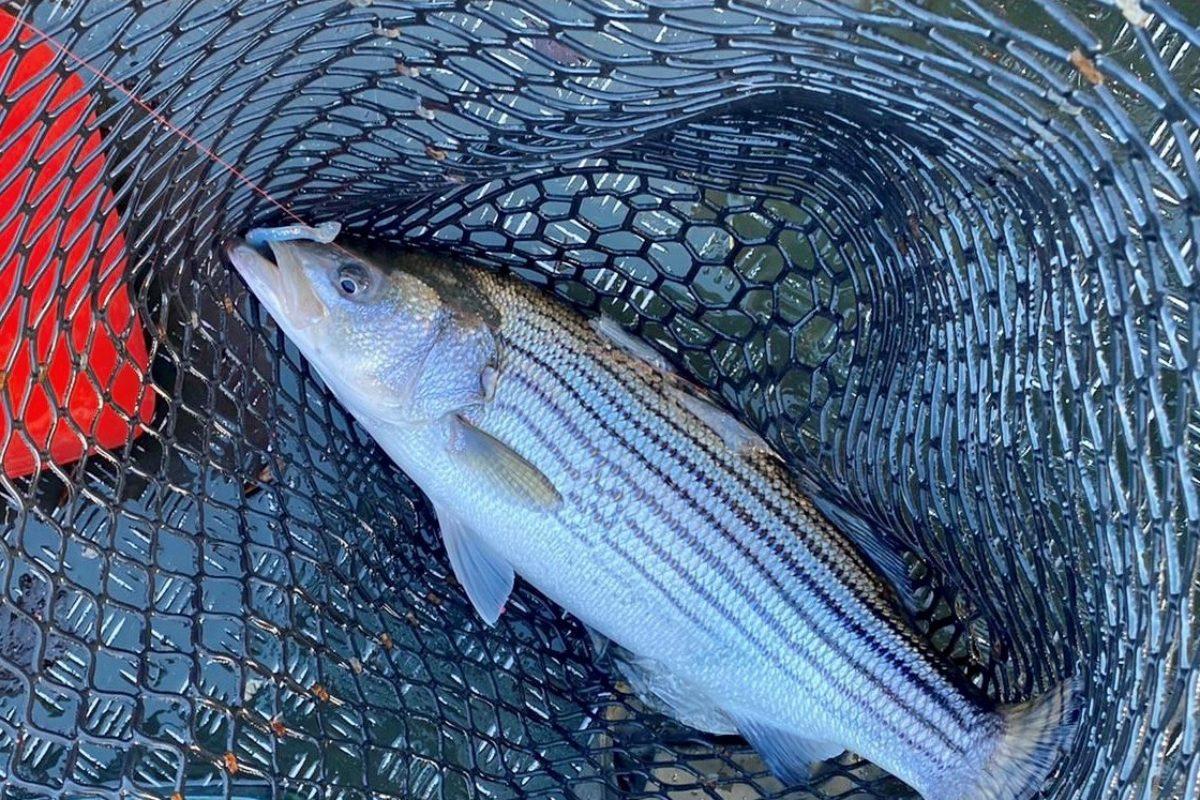 Außergewöhnlich: Ein Angler fing im Januar einen Streifenbarsch in den Niederlanden. Diese Art kommt eigentlich an der Ostküste der USA vor. Foto: M. Peterson