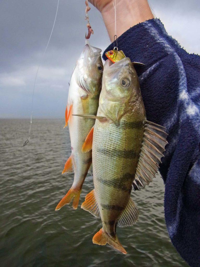 Wer beim Barschangeln mitten im Fisch steht, sollte einen Seitenarm mit Wurm montieren. Doppelte Chance!