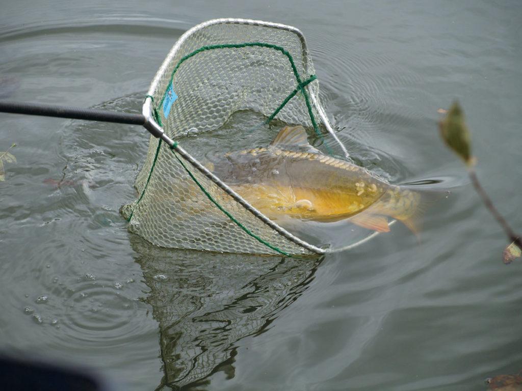 Nach einem Dammbruch im Horbachtal mussten Tierretter mehrere Fische aus Teichen retten, darunter auch große Karpfen. (Symbolbild) Foto: A. Pawlitzki