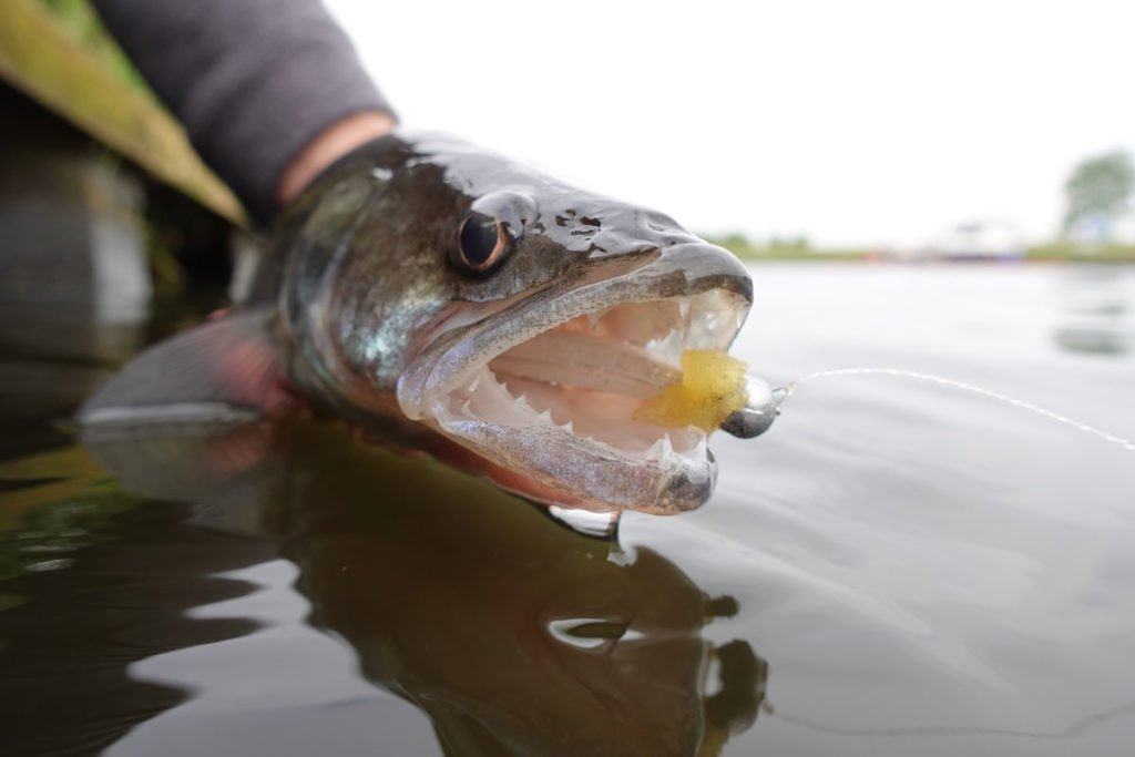 Bei uns ein beliebter Zielfisch, auf der Insel eine invasive Art: Zander in Großbritannien dürfen nicht zurückgesetzt werden. Foto: F. Pippardt