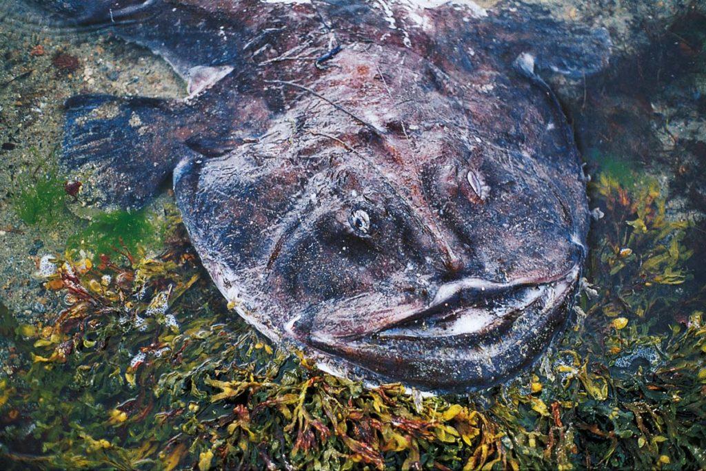 Durch viele kleine Hautanhängsel auf seinem Körper und seiner Farbanpassung an den Untergrund, sieht der Seeteufel, eingegraben am Grund, wie ein mit Algen bewachsener Stein aus.