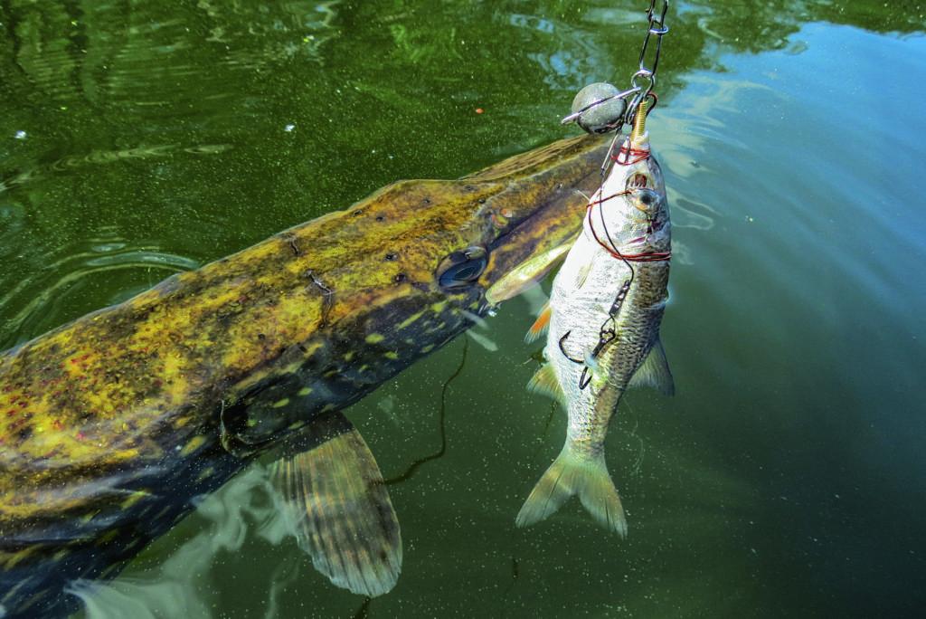 Ein Hecht hat einen toten Köderfisch an der Drachkovitch-Montage im Maul.
