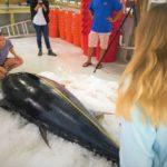 Mit fast 400 Kilogramm bricht der Thunfisch alle Rekorde. Foto: Center for Sportfish Science and Conservation
