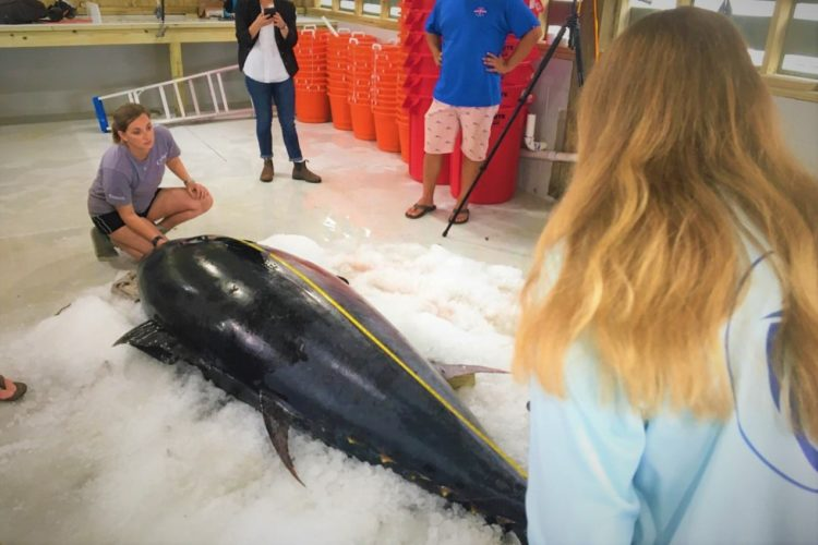 Mit fast 400 Kilogramm bricht der Thunfisch alle Rekorde. Foto: Center for Sportfish Science and Conservation