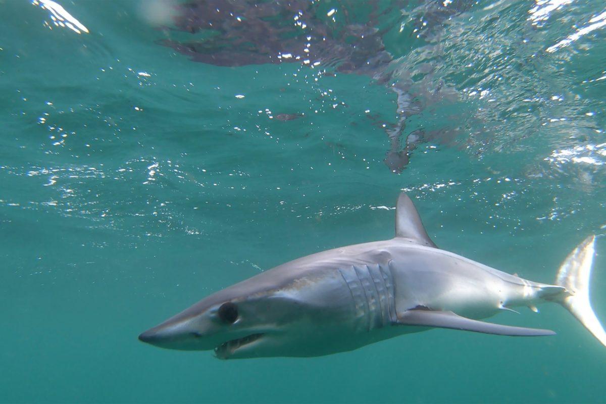 Ein junger Makohai unter der Wasseroberfläche.