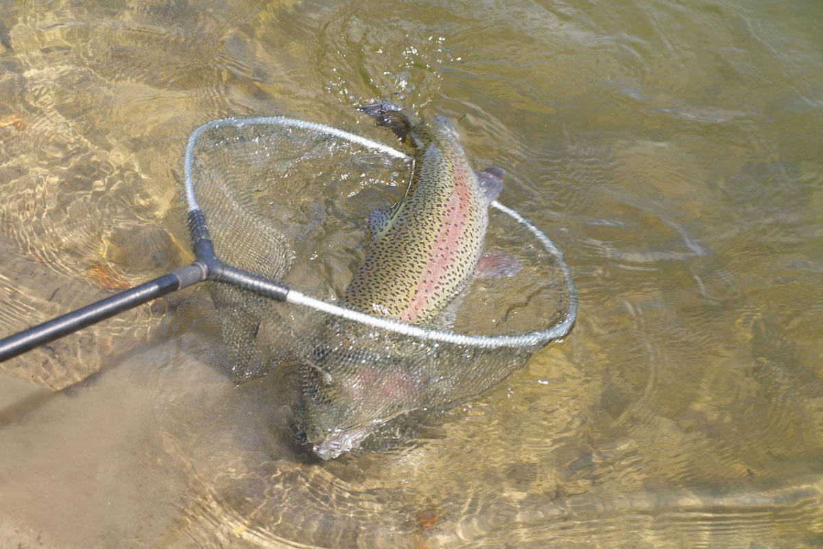 In Dänemark kam es zu einem Ausbruch der Fischkrankheit IHN. Angler in der Gegend sind angehalten, ihr Angelgerät regelmäßig zu desinfizieren. (Symbolbild) Foto: A. Pawlitzki