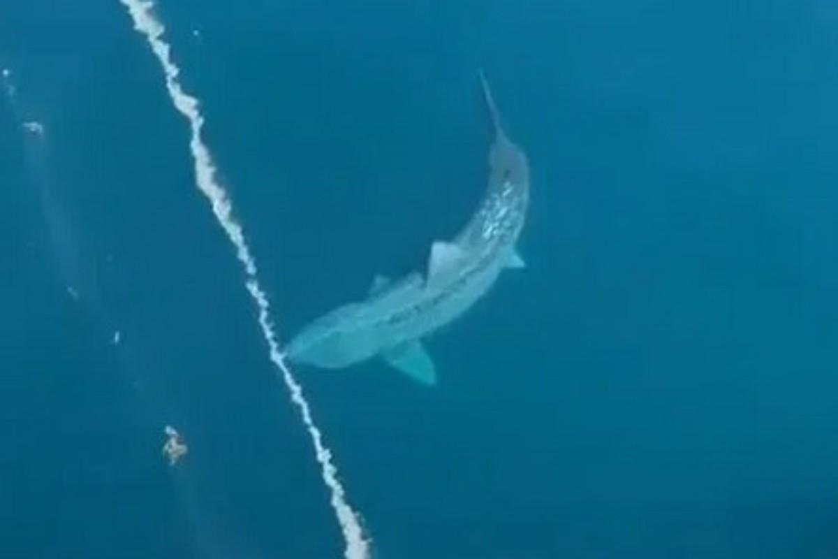 Der TikTok-Nutzer Alex Albrecht filmte einen seltenen Riesenhai. Foto: TikTok / Alex Albrecht