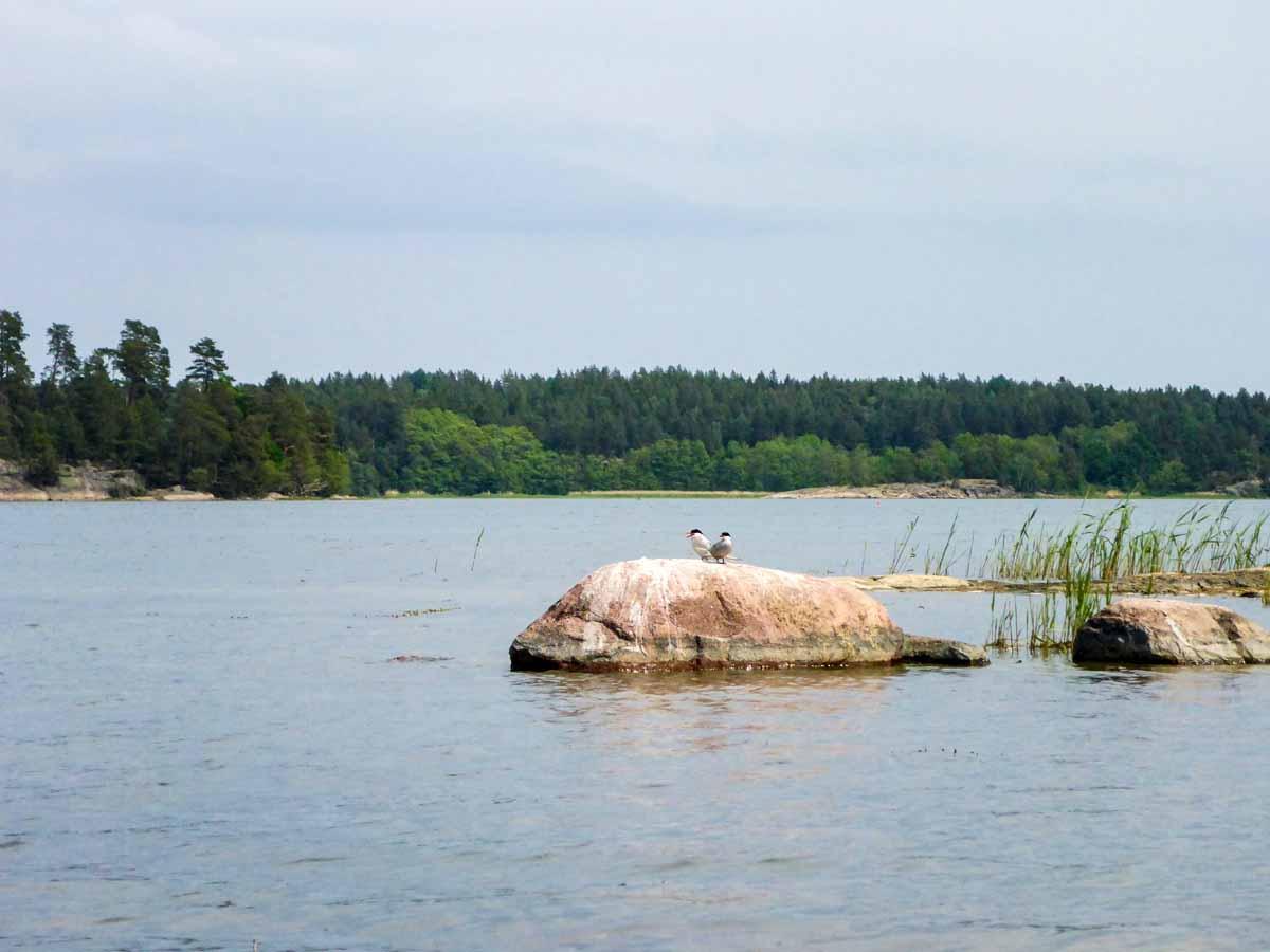 Herrliche Landschaft! Felsen, Ostseevegetation, Schilf und Seeschwalben – dieses Bild ist typisch für die äußeren Schären. Foto: J. Radtke