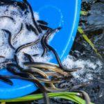 Ein Wehr in Rathenow wäre für zahllose Aale in der Havel fast zur Todesfalle geworden. Mit einer Rettungsaktion verhinderten Angler eine Katastrophe. Foto: LAVB / Marcel Weichenhan