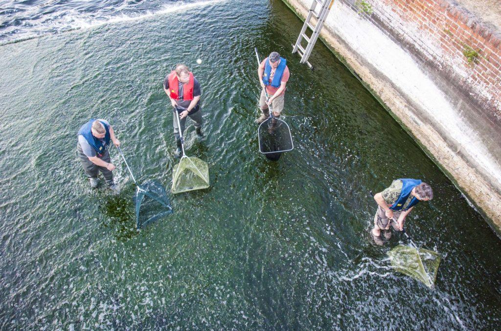 Mit Keschern bewaffnet retteten die Angler die Aale davor, am Wehr zu verenden. Foto: LAVB / Marcel Weichenhan