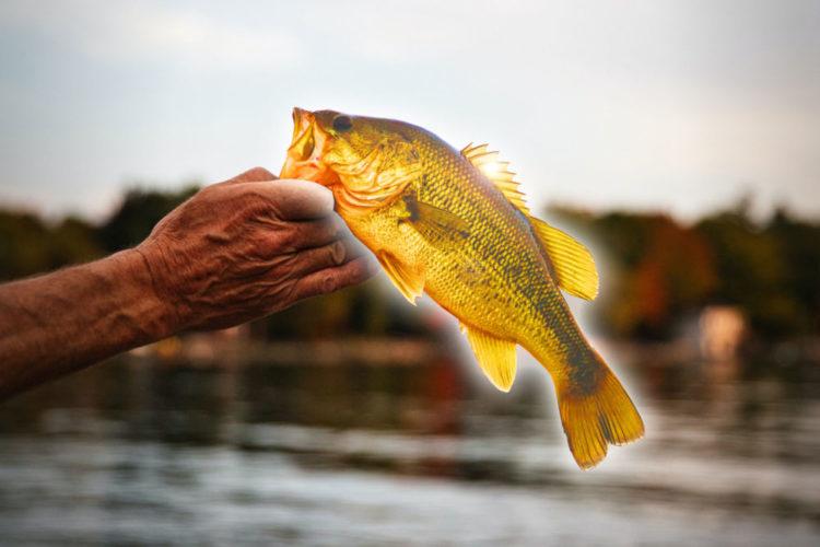 Der US-Amerikaner Josh Rodgers fing am Beaver Lake in Arkansas einen wirklich seltenen Fisch: Ein goldener Barsch ging ihm an den Haken. (Wir können sowas ja nur mit Photoshop …) Foto: Jeff Vanderspank / Unsplash