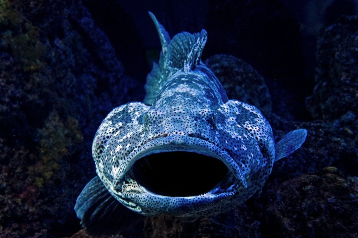 Angler vor South Carolina fingen Anfang Juni einen Goliath Grouper von fast 200 Kilo. Der Fisch galt in der Region lange als beinahe ausgestorben. Foto: David Clode / Unsplash