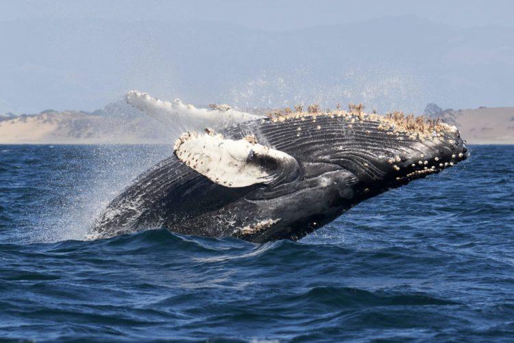 Eine Geschichte wie aus der Bibel: Vor der US-Ostküste soll ein Taucher von einem Wal verschluckt worden sein. (Symbolbild) Foto: Mike Doherty / Unsplash