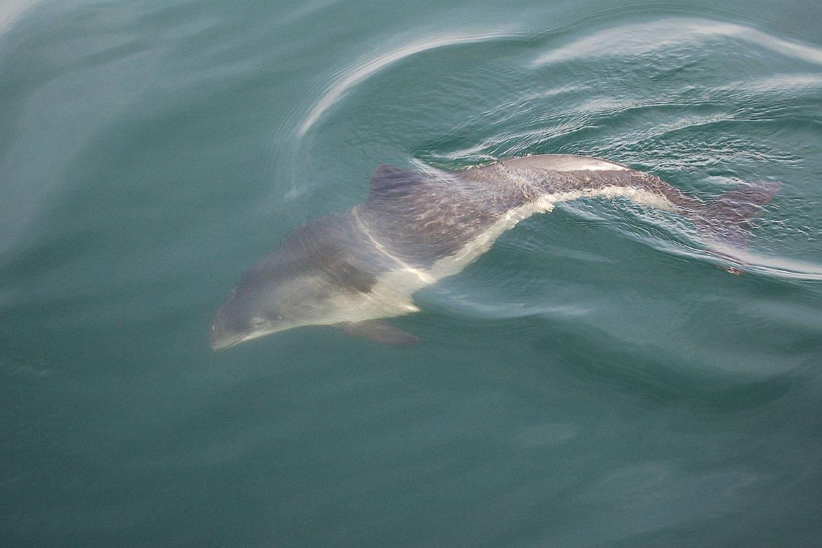 Schweinswale aus der Nordsee besuchen jedes Frühjahr den Hamburger Hafen. In den letzten Jahren wurden es aber immer weniger.