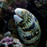 Die Sternfleckenmuräne ist ein beliebter Aquarienfisch – mit einem Geheimnis. Ihr zweiter Kiefer ermöglicht es ihr, auch außerhalb des Wassers zu fressen. Foto: Bernard Spragg / Flickr