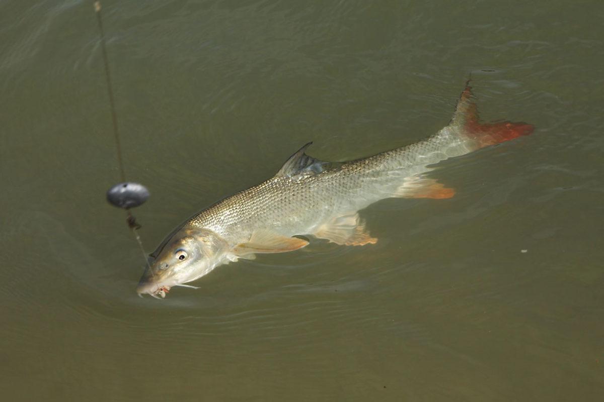 Ein Angler aus England fing die bisher größte Barbe der Saison in der Themse. Der Fisch wog über 7 Kilogramm. Foto: W. Hauer