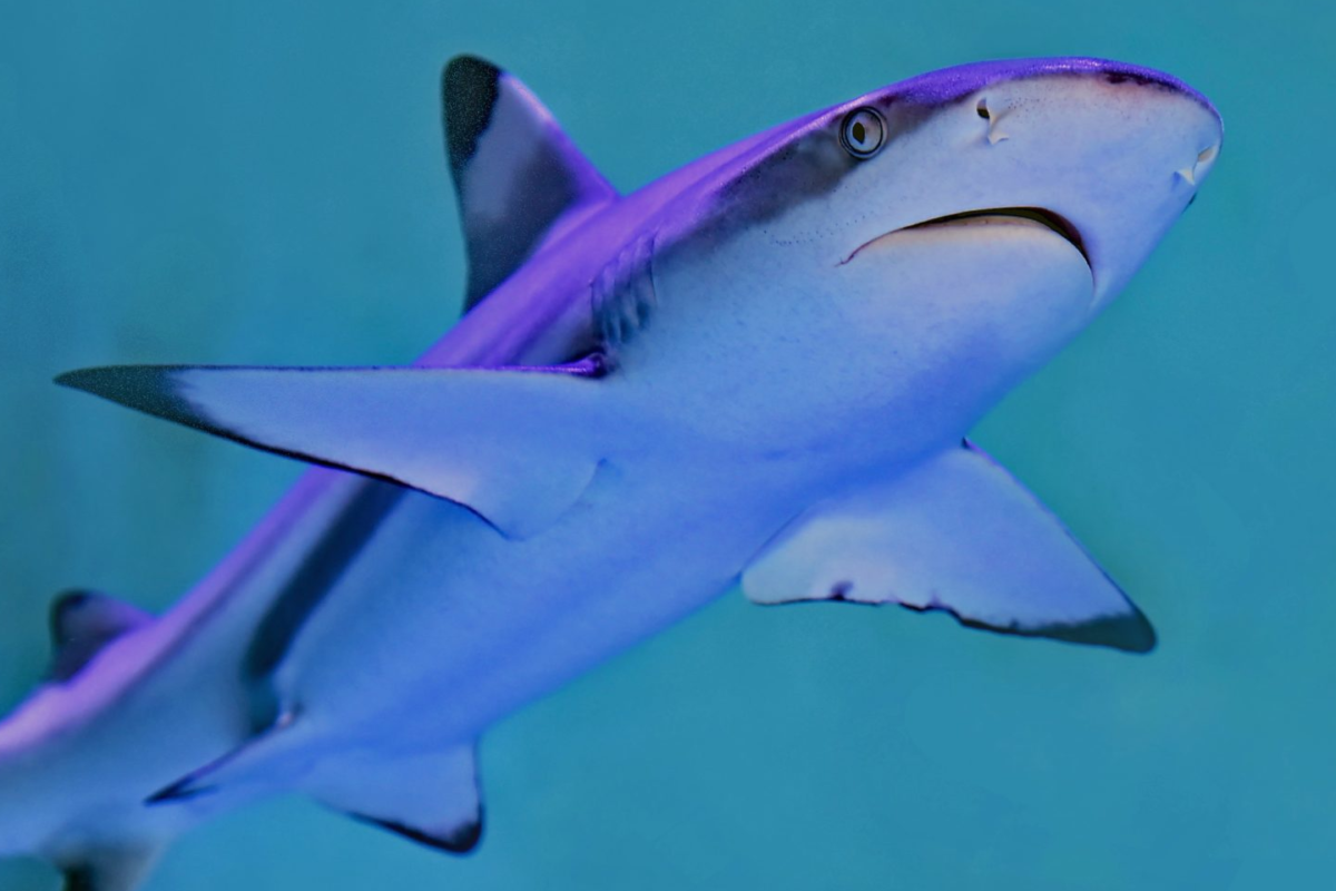 Ein Hai schwimmt durchs Wasser. (Symbolbild)