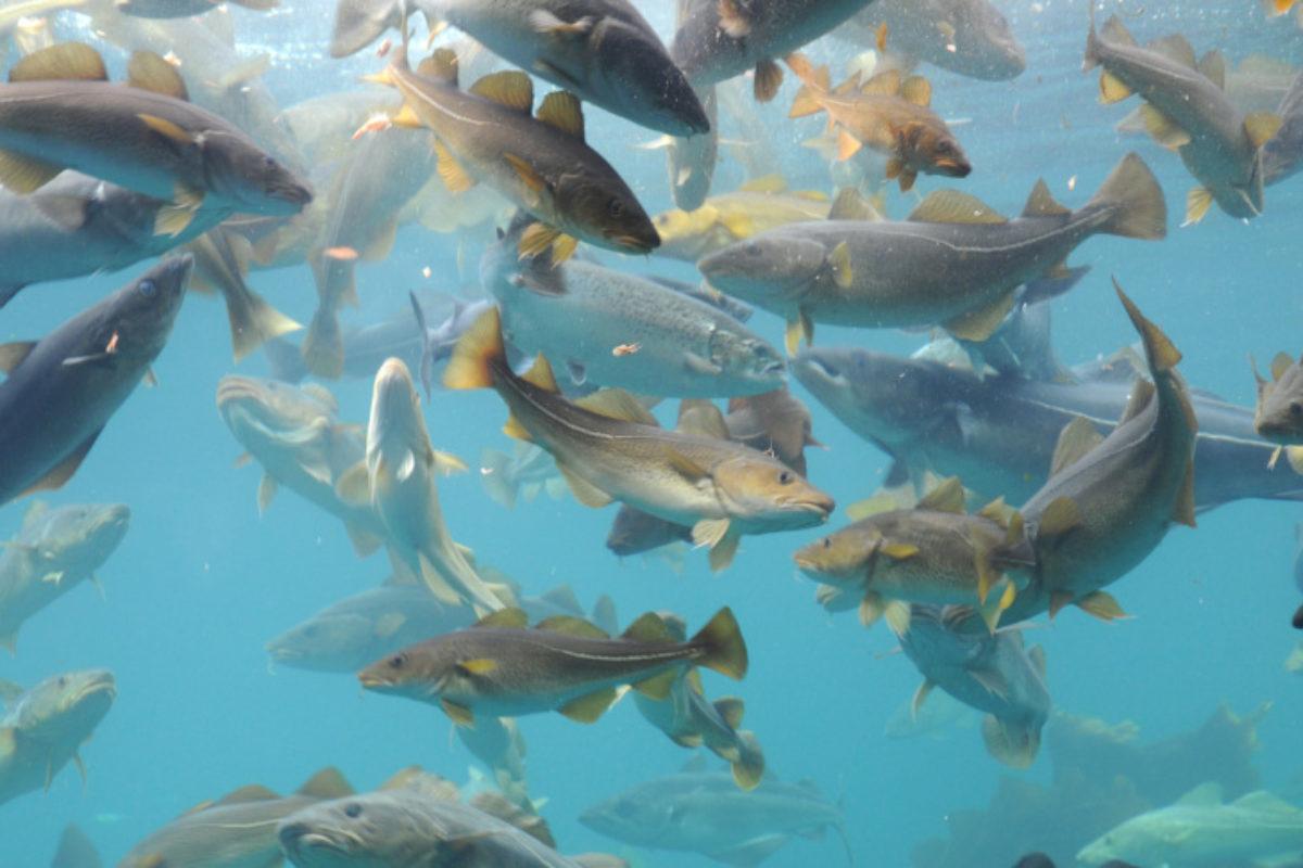 Mit einem neuen Modell haben Forscher errechnet, wie sich der Kabeljau-Bestand in der Nordsee entwickeln wird. Foto: David Young / Fotolia