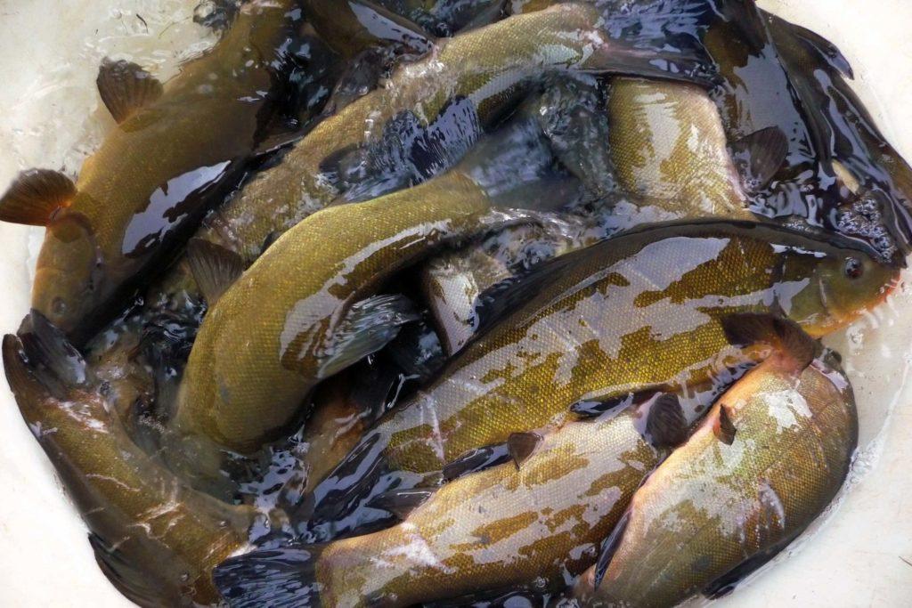 In England erreicht die Nachfrage an Besatz aus Fischzuchten ihren Höhepunkt, kann aber nicht immer erfüllt werden. Neben Schleien sind auch Karauschen und Karpfen sehr gefragt. Foto: E. Hartwich