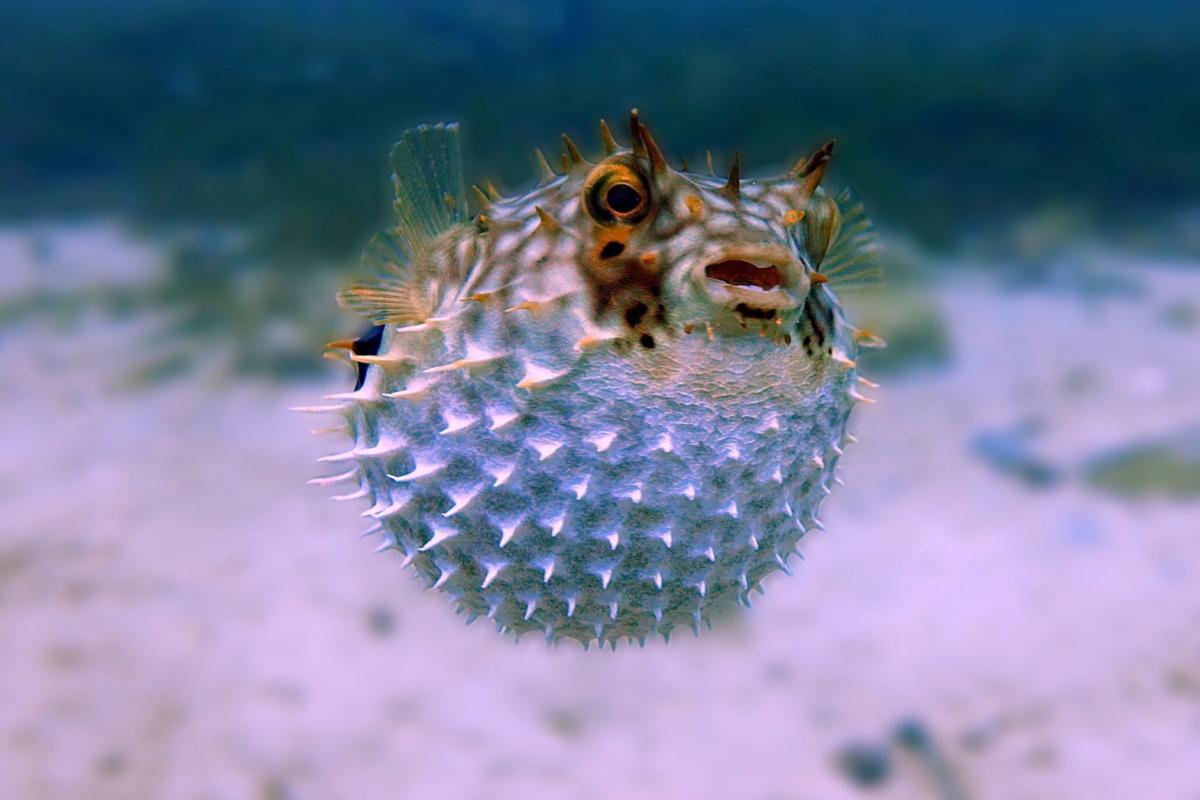 Ein Kugelfisch schwimmt aufgebläht nahe am Meeresgrund. (Symbolfoto)