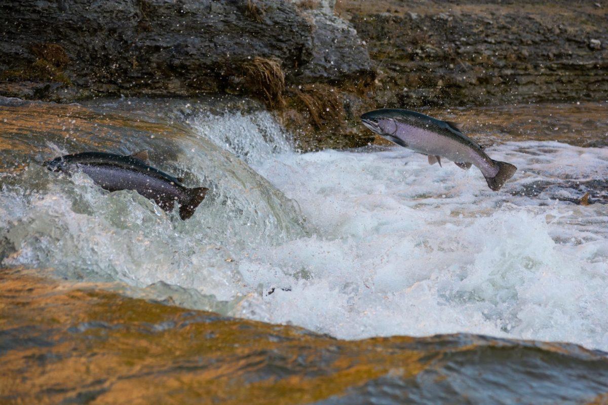 Jedes Jahr wandern tausende von Lachsen flussaufwärts. Eine Dürre gefährdet nun den gesamten Bestand: Ein Lachssterben droht. Foto: Greener30 / Unsplash