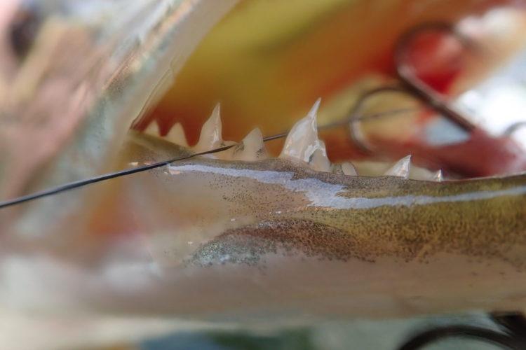 Die Zähne von Hechten und Muskys werden spielend mit Vorfächern fertig. Auch ein Hechtbiss kann enorm schmerzhaft sein, wie ein Sportler aus Kanada erfahren musste. Foto: M. Werner