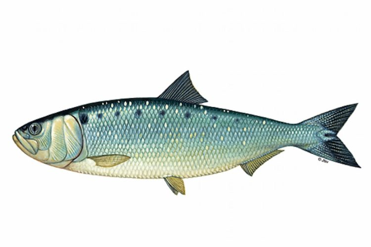 Die Finte ist leicht an dem schwarzen Punkt hinter ihren Kiemendeckel zu erkennen. Die Fische gelten in den Niederlanden als bedrohte Art. Bild: J. Scholz / JAHR MEDIA