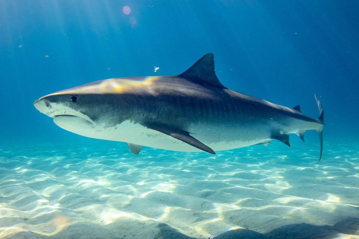 Haie wie der Tigerhai sind die größten Raubfische der Erde. (Symbolbild) Foto: G. Schömbs / Unsplash