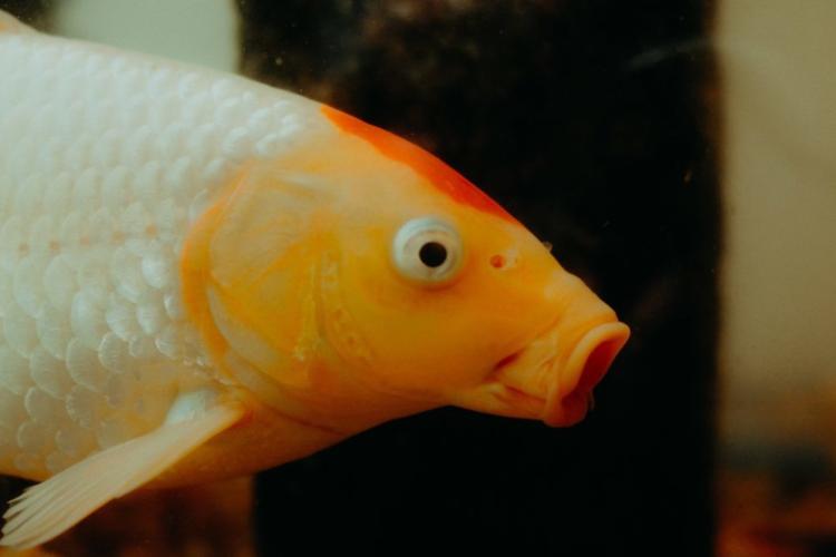 Profilaufnahme eines Goldfisches