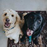 Die Spürhunde, die für dieses Projekt ausgewählt worden sind, sind gewöhnliche Haushunde. (Symbolbild) Foto: Unsplash / Jay Wennington