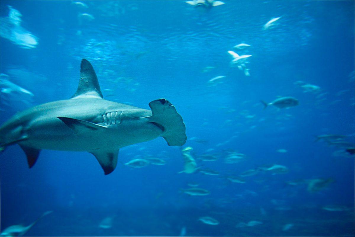 Besonderes Merkmal des Hammerhais ist sein verbreiterter Kopf. Man vermutet, dass er damit seine Umgebung besser wahrnehmen kann als andere Fische. Foto: Jéan Béller / Unsplash