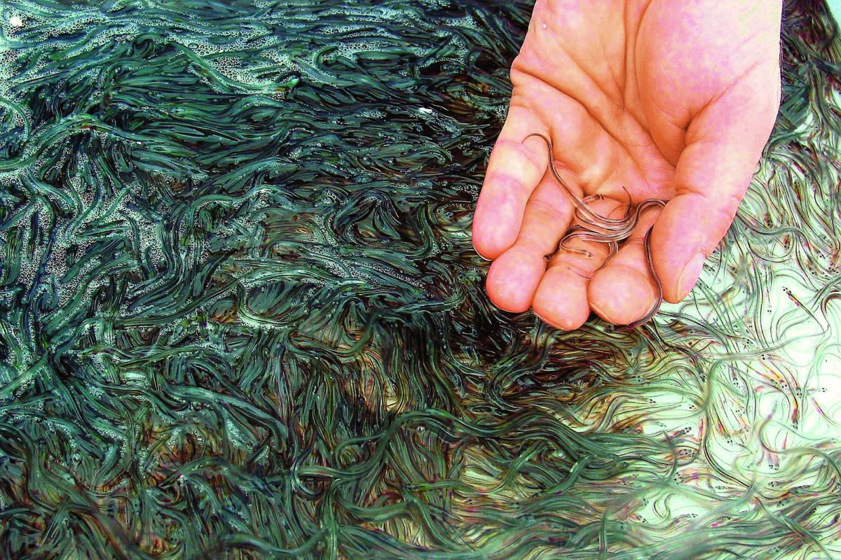 Beim Aalutsetten in de Schlie wurden in diesem Jahr über 150.000 Aale ausgewildert. (Archivbild) Foto: AngelWoche