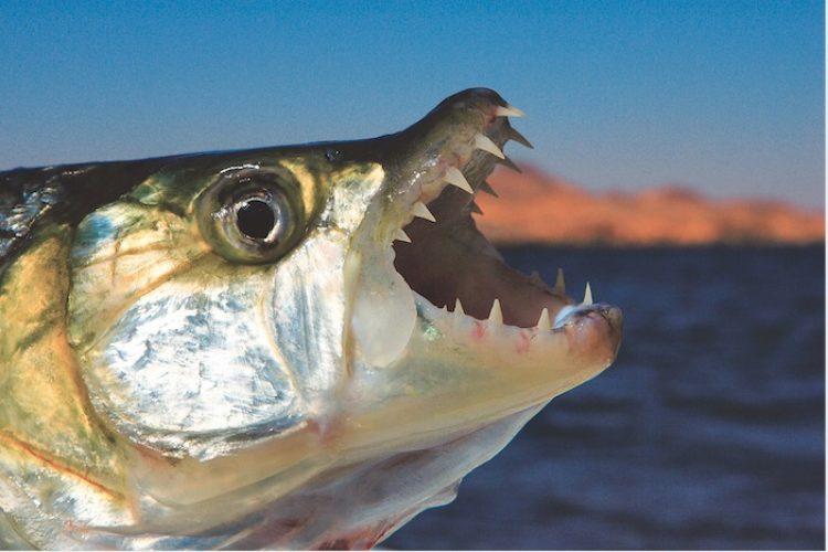 Man sieht im Profil das Maul eines Tigerfisches.