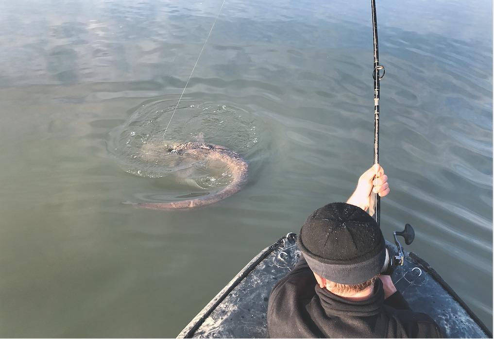 Angler auf einem Boot im Drill eines großes Welses