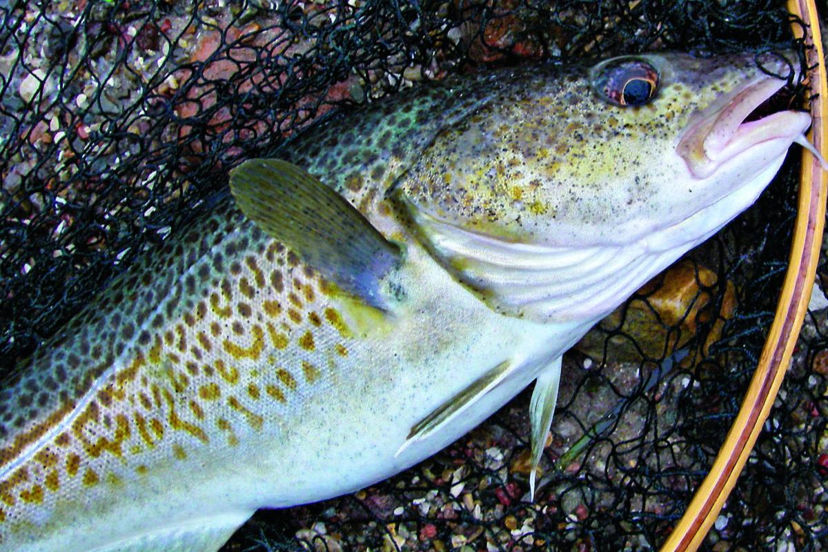 Ein Dorsch pro Angler und Tag: Die EU-Kommission schlägt für 2022 ein strengeres Bag-Limit vor. Berufsfischer sollen gar nicht mehr gezielt auf Dorsch fischen dürfen. Foto: BLINKER / M. Wendt