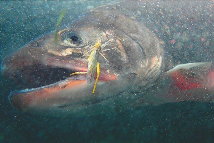 Saibling beißt in einen Heuschrecken-Köder unter Wasser