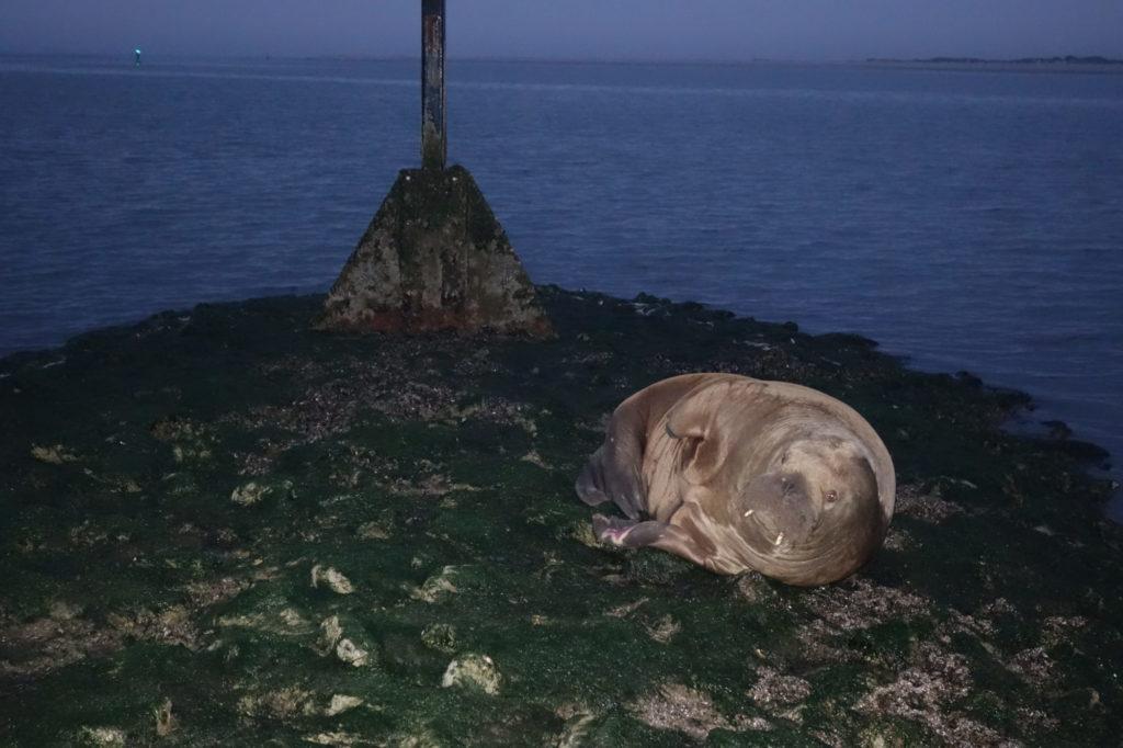 """Auf den ersten Blick hielt Dr. Schulte das Walross für einen """"alten Seesack"""". Erst, als er näherkam, erkannte er, worum es sich wirklich handelte: nicht weniger als eine Sensation. Foto: W. Schulte"""
